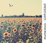 Sunflowers. Migratory Birds...