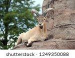 west caucasian tur on rock... | Shutterstock . vector #1249350088