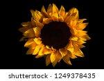 Full Sunflower Bloom Macro