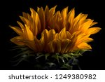 Sunflower Macro On Black...