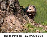 A Little Possum Peeps Around A...