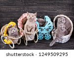 Stock photo scottish straight and scottish fold kittens kittens in a basket and decorative carriages 1249509295