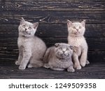 Stock photo scottish straight and scottish fold kittens three kittens two kittens are sitting and one is lying 1249509358