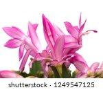 christmas cactus flowers   Shutterstock . vector #1249547125