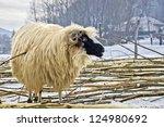 purebred domestic fleecy sheep...   Shutterstock . vector #124980692