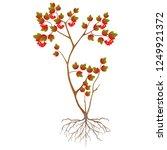 viburnum bush with ripe berries ...   Shutterstock .eps vector #1249921372