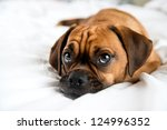 Stock photo cute puggle sleeping in owners bed on white sheets 124996352