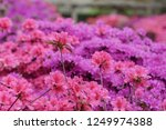 a bush with flowers pink... | Shutterstock . vector #1249974388