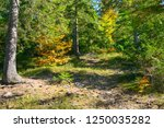 coniferous and deciduous trees... | Shutterstock . vector #1250035282