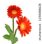 gerbera daisy flowers on white... | Shutterstock . vector #1250088628