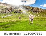 cows in high mountain pasture | Shutterstock . vector #1250097982