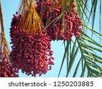 huge group of dates hanging on...   Shutterstock . vector #1250203885