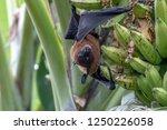 greater indian fruit bats of... | Shutterstock . vector #1250226058