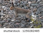 Stock photo arctic hare lepus timidus male on ancient boulder beach at north hare molting from winter 1250282485