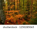 the colorful beech forest... | Shutterstock . vector #1250285065