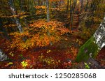 the colorful beech forest... | Shutterstock . vector #1250285068