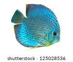 Spotted Blue Discus  Freshwate...