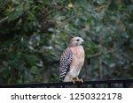 hawk raptor bird of prey...   Shutterstock . vector #1250322178