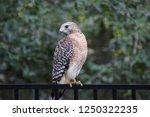 hawk raptor bird of prey...   Shutterstock . vector #1250322235