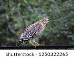 hawk raptor bird of prey...   Shutterstock . vector #1250322265