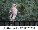 hawk raptor bird of prey... | Shutterstock . vector #1250373958