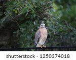 hawk raptor bird of prey... | Shutterstock . vector #1250374018