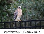 hawk raptor bird of prey... | Shutterstock . vector #1250374075