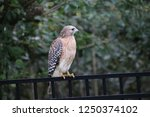 hawk raptor bird of prey... | Shutterstock . vector #1250374102