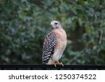 hawk raptor bird of prey... | Shutterstock . vector #1250374522