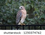 hawk raptor bird of prey... | Shutterstock . vector #1250374762