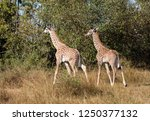 pair of young masai giraffes ... | Shutterstock . vector #1250377132