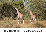 pair of young masai giraffes ... | Shutterstock . vector #1250377135