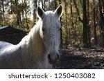 white maned paso fino mare with ... | Shutterstock . vector #1250403082