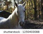 white maned paso fino mare with ... | Shutterstock . vector #1250403088