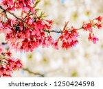 cherry blossom sakura season | Shutterstock . vector #1250424598