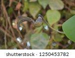 aristolochia ringens  kai fah... | Shutterstock . vector #1250453782
