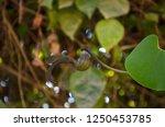 aristolochia ringens  kai fah... | Shutterstock . vector #1250453785