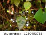 aristolochia ringens  kai fah... | Shutterstock . vector #1250453788