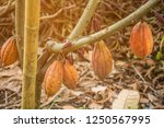the cocoa tree with fruits.... | Shutterstock . vector #1250567995