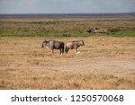 Gnus in amboseli national park  ...