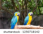 blue and yellow macaw | Shutterstock . vector #1250718142