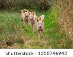 The dingo is a wild dog found in Australia