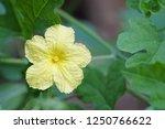 balsam pear or bitter melon ... | Shutterstock . vector #1250766622