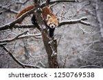 Red Panda  Firefox Or Lesser...