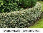 A Hedge Of  The Holly Ilex...
