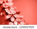 macro photo of beautiful cherry ...   Shutterstock . vector #1250927035