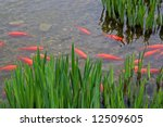 Group Of Golden Fishes In Clea...
