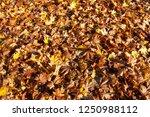 multi colored foliage of... | Shutterstock . vector #1250988112