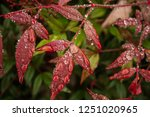 red leaves with raindrops | Shutterstock . vector #1251020965