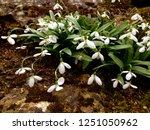 bunch of beautiful snowdrop ... | Shutterstock . vector #1251050962